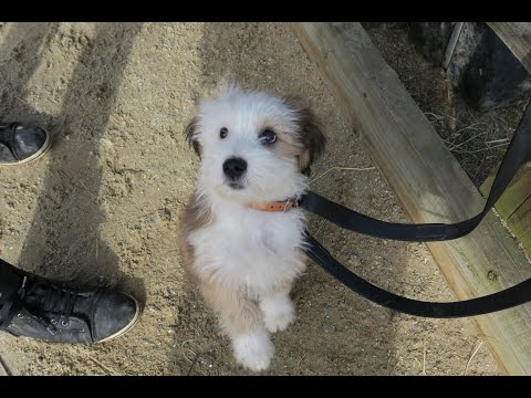 Barney - Tibetan Terrier puppy - 2 Week Residential Dog Training at Adolescent Dogs
