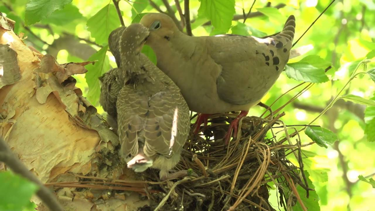 what to feed a mourning dove