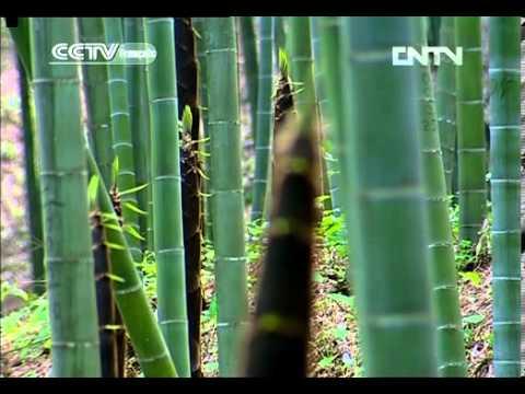[Nature et Science]Les forêts de Chine(1) - La forêt de bambous(中国的森林 - 竹林)