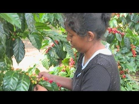 Mexico's coffee production threatened by climate change