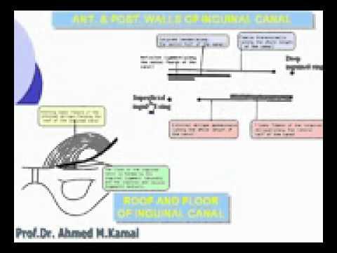 8  Abdomen   Inguinal canal Azhar Medicine com