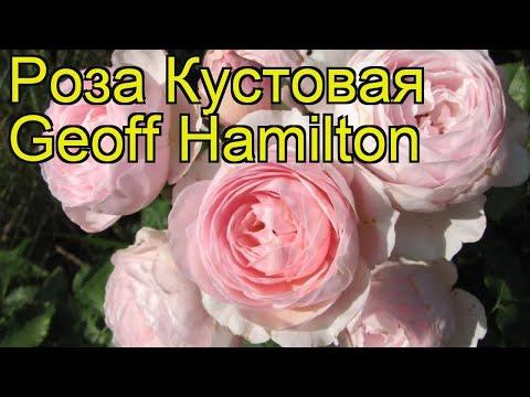 Роза кустовая Geoff Hamilton. Краткий обзор, описание характеристик, где купить саженцы