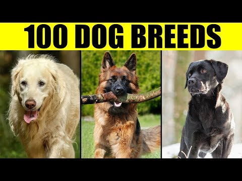 Dog Breeds - List Of 100 Most Popular Dog Breeds In The World