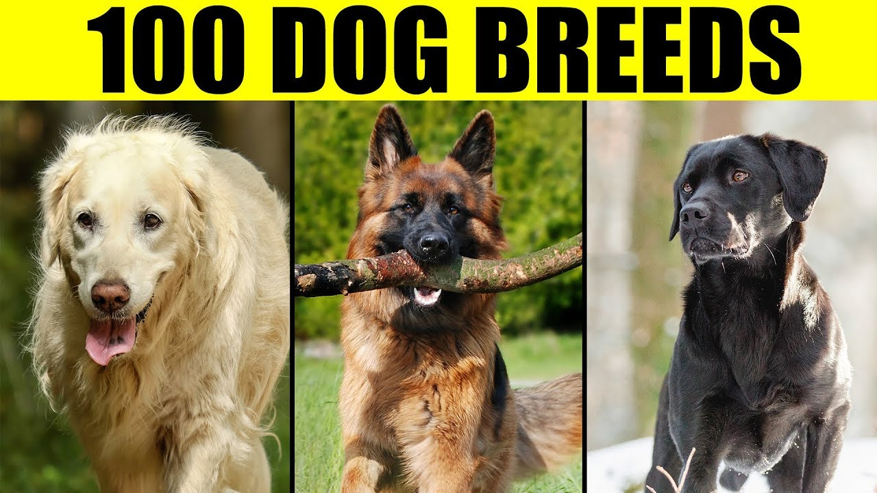 Dog Breeds List Of 100 Most Por
