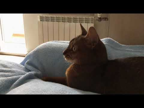 My Abyssinian cat, my love
