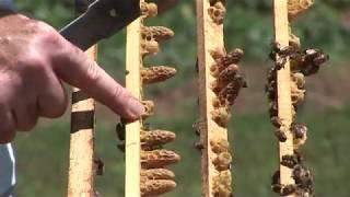 Iskustva profi pčelara - Proizvodnja matica i matičnjaka