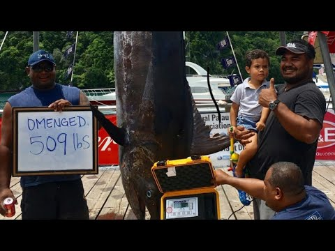 509 Lbs Marlin Biggest In The History Of Palau Fishing Tournament