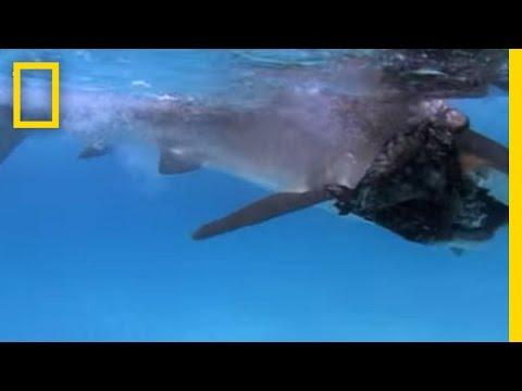 Tiger Shark vs. Albatross | National Geographic