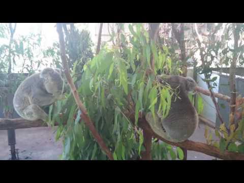 Koalas in Koala sanctuary, Brisbane Part 2