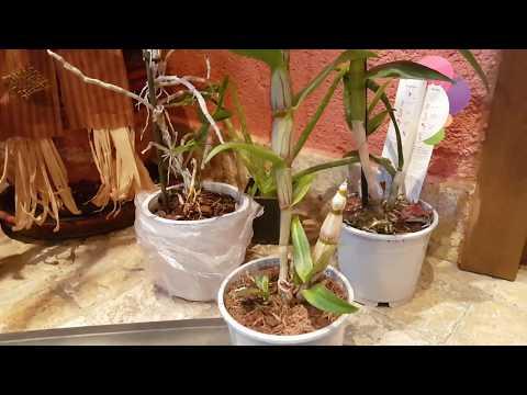 Dendrobium Nobile orkide bakımı. Dendrobium Nobile orchid care.