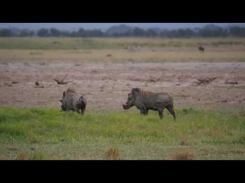 PC299013   Wrattenzwijnen Amboseli NP
