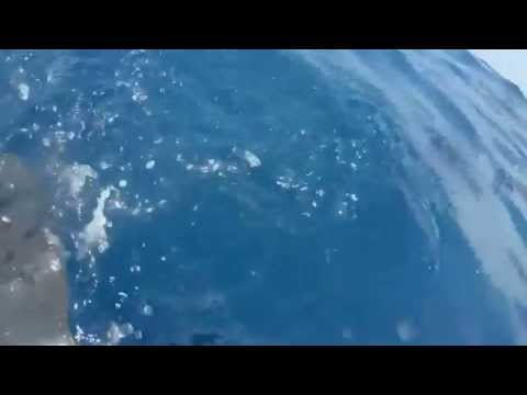 Dolphin Video by: Steve Quinn in Costa Rica.