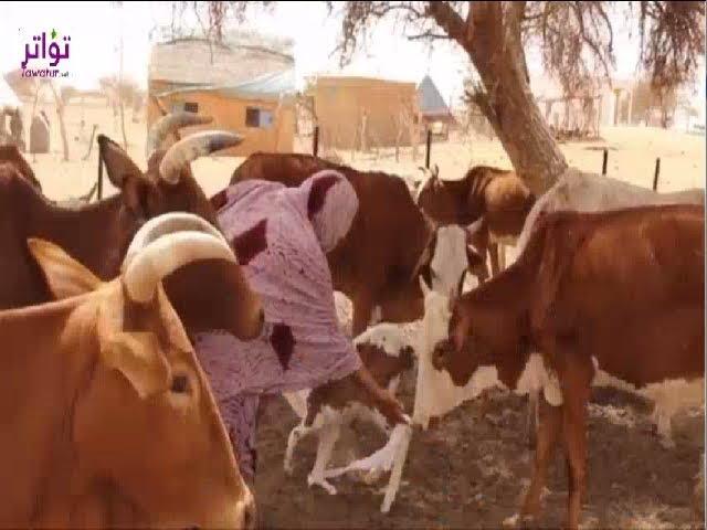 مواطنون  في الشرق الموريتاني يعلفون حيواناتهم قطعا من ثيابهم - الأخبار إينفو