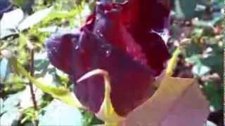 Samir Curić - Cvijet u kosi   (Taj Mahal 2005.)