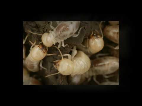 Sydney, Au Termite Control - Interesting Facts about Termite Biology & Behavior