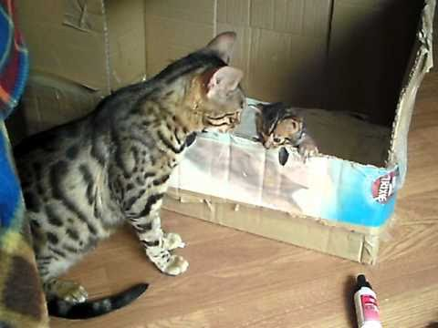 bengal cat talking to her kitten