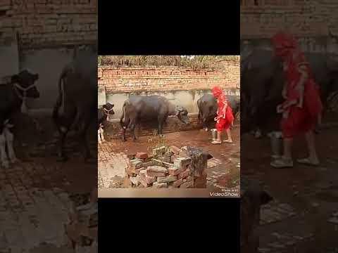 Bhabi ka despsito dinchak dance