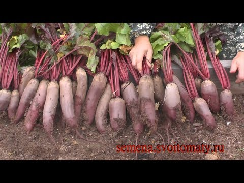 Почему у меня всегда растет урожайная и вкусная свекла | выращивание | урожайная | вкусная | свеклы | свекла | и