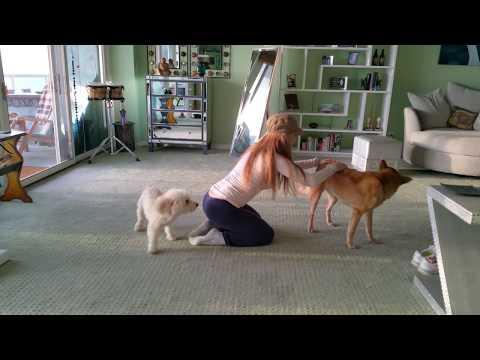 Jealous Poodle Needs Attention by Hanala Sagal (Elvis & Nixon, Comedy Wellness)