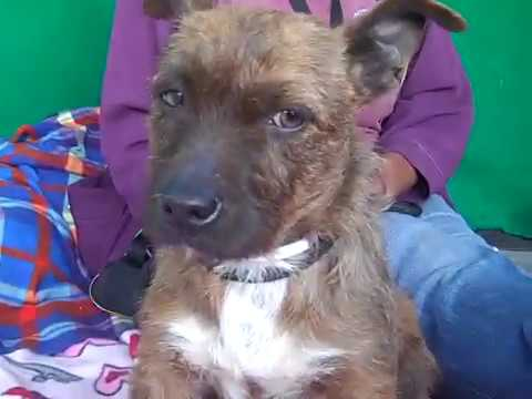 A5249129 Rigby | Cairn Terrier Puppy