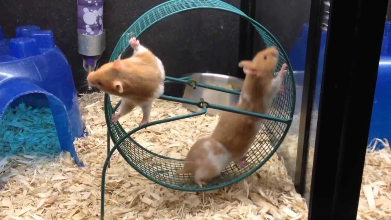 Please Enjoy This Hamster Meme Hamsters