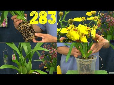 Keiki Orchidee Vermehren Und Umtopfen Phalaenopsis Dendrobium