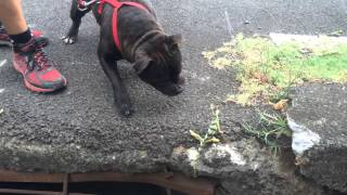 Staffordshire Bull Terrier Vs Caméléon (endormi)