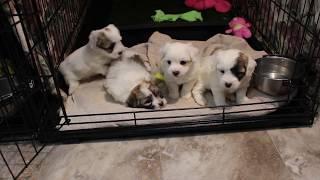 Coton de Tulear Puppies For Sale - Kiwi 5/5/20
