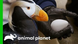 Puffin Couples Prepare Their Nests For Breeding Season | The Aquarium