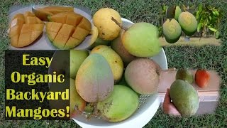 Growing Mangoes Organically No Spraying Needed!