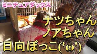 【ミニチュアダックス】甘えん坊なナツちゃん,ノアちゃん(*´▽`*)