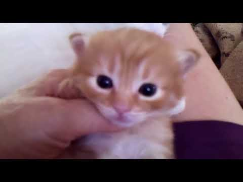 Missy's Red Tabby Longhaired Japanese Bobtail Male - 07/29/18
