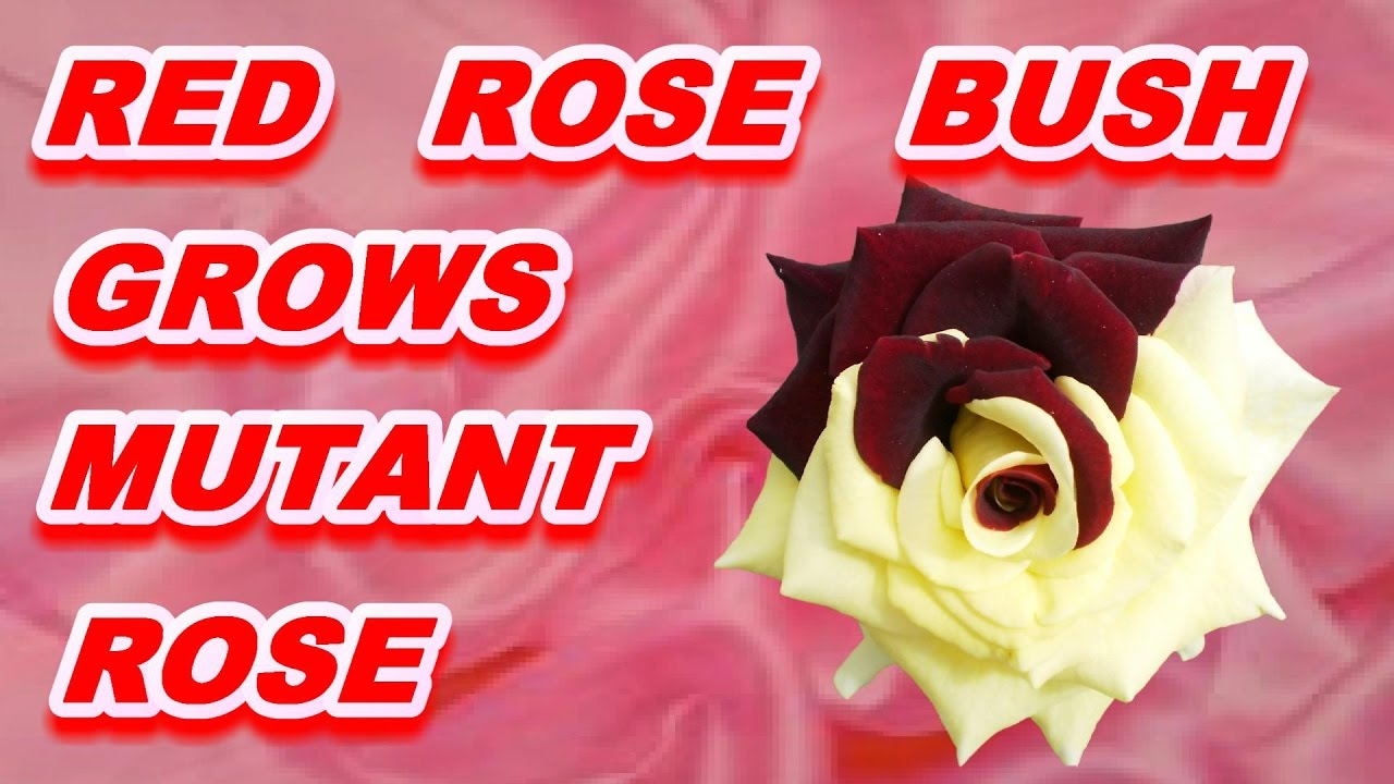 ▷ RED ROSE BUSH GROWS MUTANT ROSE. MOST BEAUTIFUL ROSE. 📢 - YouTube