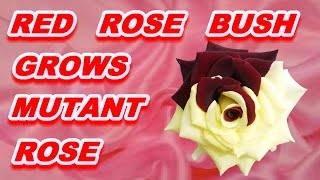 RED ROSE BUSH GROWS RARE ROSE