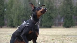 Дрессировка собак в Минске Доберман Эрика