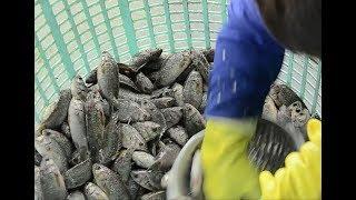 Đánh vảy hàng trăm con cá trong vài phút - Khám phá vùng quê