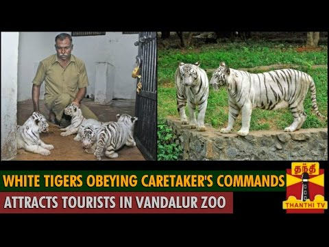 White Tiger obeying Caretaker's commands attracts Tourists in Vandalur Zoo - Thanthi TV