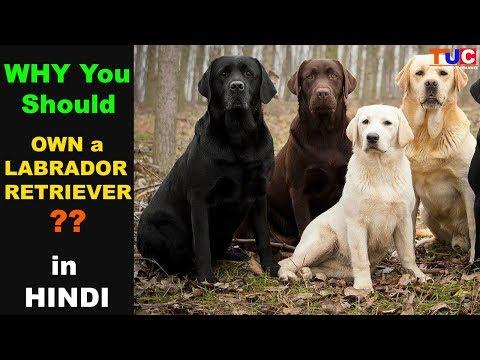 Why You Should Own a LABRADOR RETRIEVER ?? : TUC