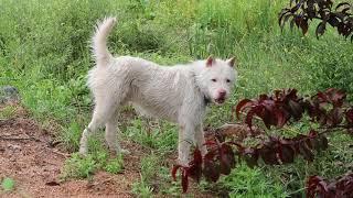 河里发水,下司犬旺旺在河边把漂浮的垃圾当成了猎物.