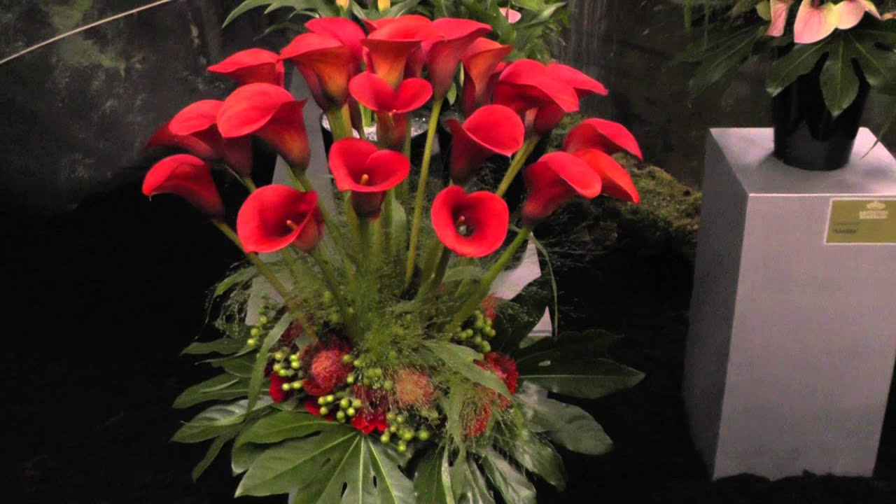 Calla Lily Quot Red Alert Quot Red Calla Lilies Youtube