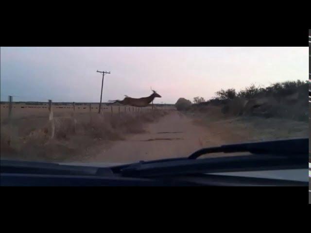 Ciervo colorado saltando alambrado en campo del oeste pampeano ARGENTINA