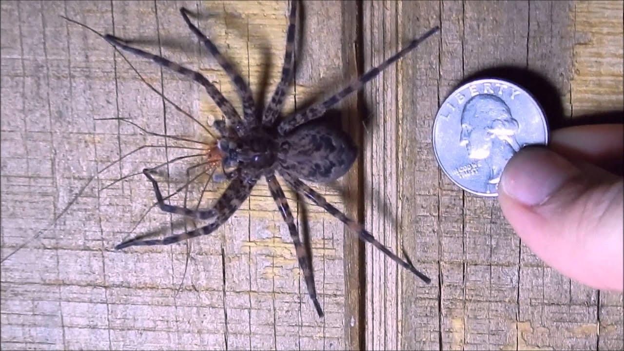 Large Female Fishing Spider Central Ohio Youtube