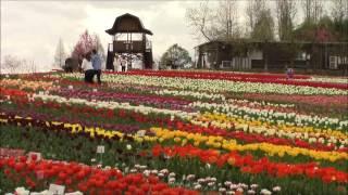 色とりどりのチューリップ 綺麗ですね。 ムスカリや菜の花も咲き誇って...