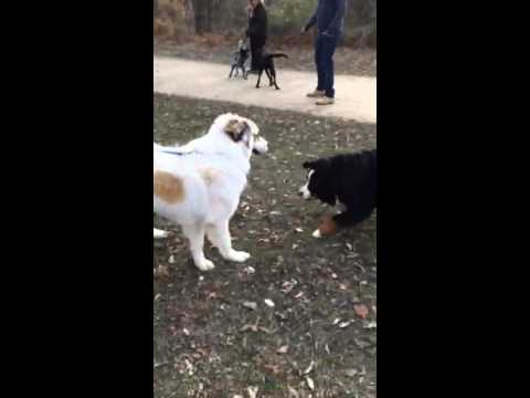 Bernese mountain dog and Great Pyrenees at res