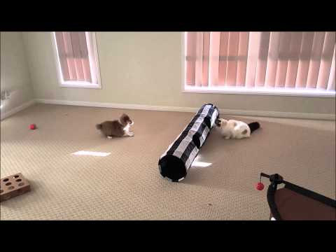 Sheltie Shetland Sheepdog puppy and cat kitten playing together