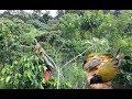 Pikat Burung Kutilang Emas Di Alam Liar Menggunakan Suara Dan Pulut Lengket  Mp3 - Mp4 Download