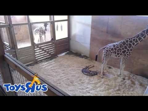 Thumbnail: April the giraffe gives birth!