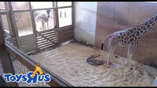 April the giraffe gives birth!