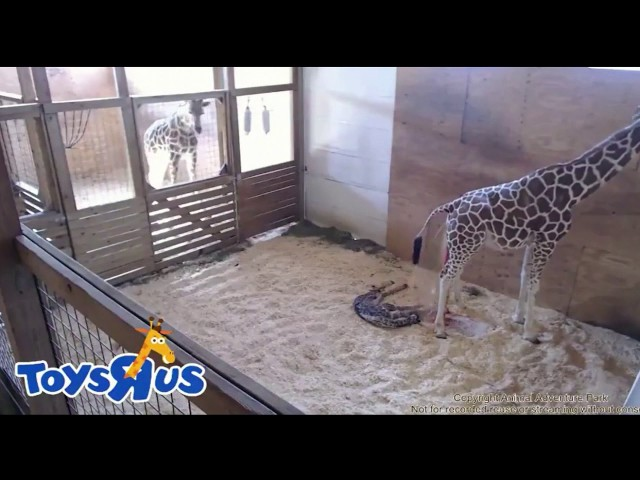April the giraffe gives birth!