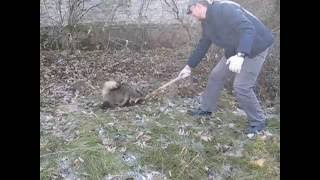 Енотовидная собака, Машево/Raccoon dog, Mashevo